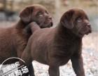拉布拉多犬价格 东莞拉布拉多犬哪里有卖纯种拉布拉多犬