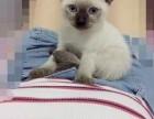 自家的小暹罗猫无病无藓健康纯正