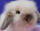 惠售圆脸暴毛垂耳兔 猴脸猫猫兔 等小体宠物兔已疫苗