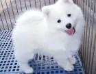 昆明纯种萨摩耶低价出售 萨摩耶银狐幼犬活体 微笑