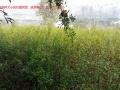 价出售安徽怀远石榴树和树桩,树枝