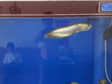 龙鱼虎鱼粗线出售