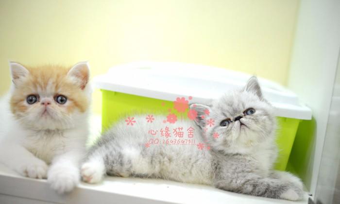 南宁加菲猫多少钱 南宁哪里出售的加菲猫幼犬价格较便宜