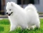 烟台狗场直销萨摩耶泰迪金毛哈士奇秋田德牧阿拉斯加等各种名犬