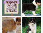 乌鲁木齐哪里有纯种喜乐蒂 可爱活泼小型犬 公母均有 保健康