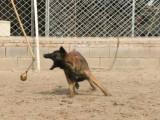 银川哪里有出售马犬的马犬幼犬多少钱