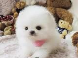 精品纯种 博美幼犬 常年出售 多只可挑一品质