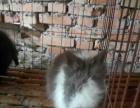 垂耳兔猫猫兔凤眼西施兔道奇猫猫狮子兔獭兔侏儒兔