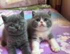 长期批发零售各种纯种猫咪,包健康