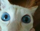 自家繁育的暹罗猫