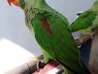 出售亚历山大鹦鹉 和尚鹦鹉 金太阳鹦鹉 吸蜜鹦鹉 鹩哥