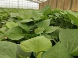 脱毒西瓜红红薯苗供应