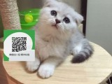 南阳哪里开猫舍卖折耳猫 去哪里可以买得到纯种折耳猫
