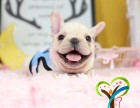 上海闵行区榛果犬业品种齐全包纯种健康签协议可托运 可上门挑选