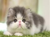 CFA貓舍專業繁殖精品加菲貓多只在售 簽協議包健康