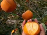 甜脆柿脆柿水晶柿果苗种植