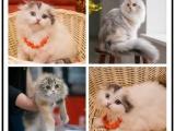 里有出售宠物折耳猫包纯种健康送货上门