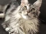 缅因猫大体型的霸气长毛猫 引进繁育
