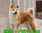 纯种高品质秋田犬正规秋田犬繁殖基地,品质健康双保障