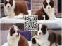 上海大型犬舍繁殖边境牧羊犬幼犬 边牧幼犬 包纯种健康好养活