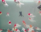 精品金鱼观赏鱼