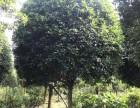 四川成都四川優質精品朱砂丹桂 庭院綠化 朱砂丹桂價格