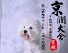 咸阳哪里有卖纯种西高地犬幼犬