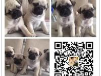 重庆犬舍出售纯种巴哥犬 自产自销 签协议 面对面交易