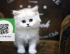徐州哪里有金吉拉出售 徐州金吉拉价格 徐州宠物猫转让出售