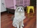 布偶猫DD莫妮卡家直血对外配
