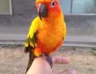 手养的金太阳幼鸟 可爱亲人