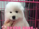 微笑天使萨摩耶出售,纯种萨摩耶幼犬,疫苗做齐