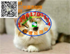 猫苑精品加菲猫多只在售 签协议包健康CFA猫舍专业繁殖