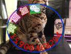 自家猫舍繁育一窝豹猫 包纯种 包健康