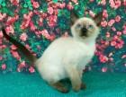 纯种健康泰国暹罗小猫咪 公母都有 随时可看