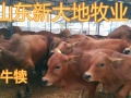 养殖场出售鲁西黄牛 西门塔尔牛 肉牛 夏洛莱牛 驴