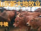 出售鲁西黄牛西门塔尔牛利木赞牛肉牛 小牛犊免费送