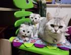 纯种英短小猫家养