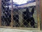 出售纯种黑狼犬2~4个月小黑狼犬