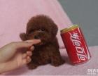 自家养的一窝泰迪狗狗 找人领养