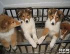 上海哪里有卖苏牧上海苏牧犬多少钱上海苏牧犬好养吗上海苏牧照片
