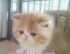 加菲宝宝出售 自家猫舍繁殖 可上门挑选 可送上门