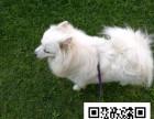 银狐犬纯正健康出售-幼犬出售,当地可以上门挑选
