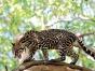 孟加拉亚豹猫幼崽预订
