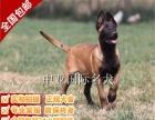 宠物狗 纯种马犬 视频看狗 免费送货上门