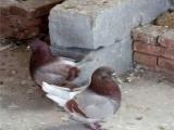 出售点子鸽、黄金鱼鸽、秀鸽、毛领鸽 保证您的爱鸽安全到家