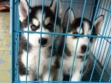 哪里有哈士奇犬卖 家养哈士奇价格 哈士奇犬图片