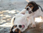 扬州纯种比格犬大概多少钱一只 在扬州什么地方能买到纯种比格犬