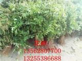 大红袍花椒苗哪里有卖的 40公分高花椒苗哪里多