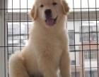 广州地区出售高品质金毛犬 疫苗驱虫齐全 可来基地挑选